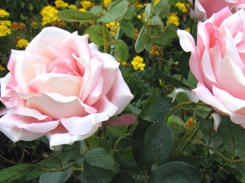 die beste zeit zum pflanzen str ucher und rosen wachsen im herbst besonders gut an. Black Bedroom Furniture Sets. Home Design Ideas