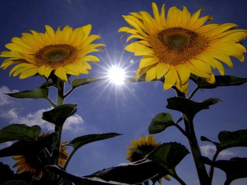 10 Tipps für schönere Sonnenblumen - Mein schöner Garten