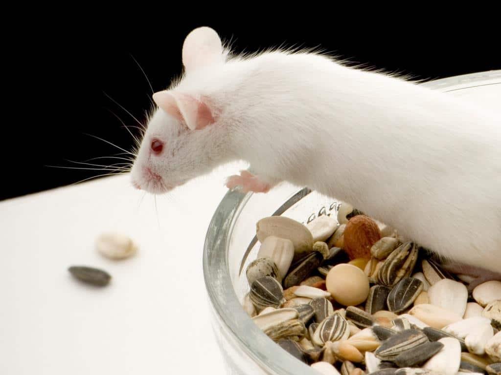 Zahm und verspielt: Mäuse und Ratten