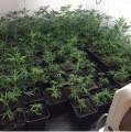 Cannabis-Plantage im Keller in Köln-Deutz aufgefunden