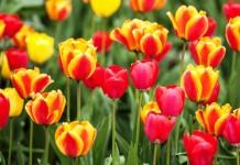 Die Tulpe – eine Preziose seit dem 17. Jahrhundert copyright: Ulrich Merkel / pixelio.de