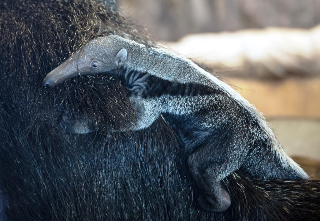 Zweiter Großer Ameisenbär im Kölner Zoo geboren copyright: Kölner Zoo