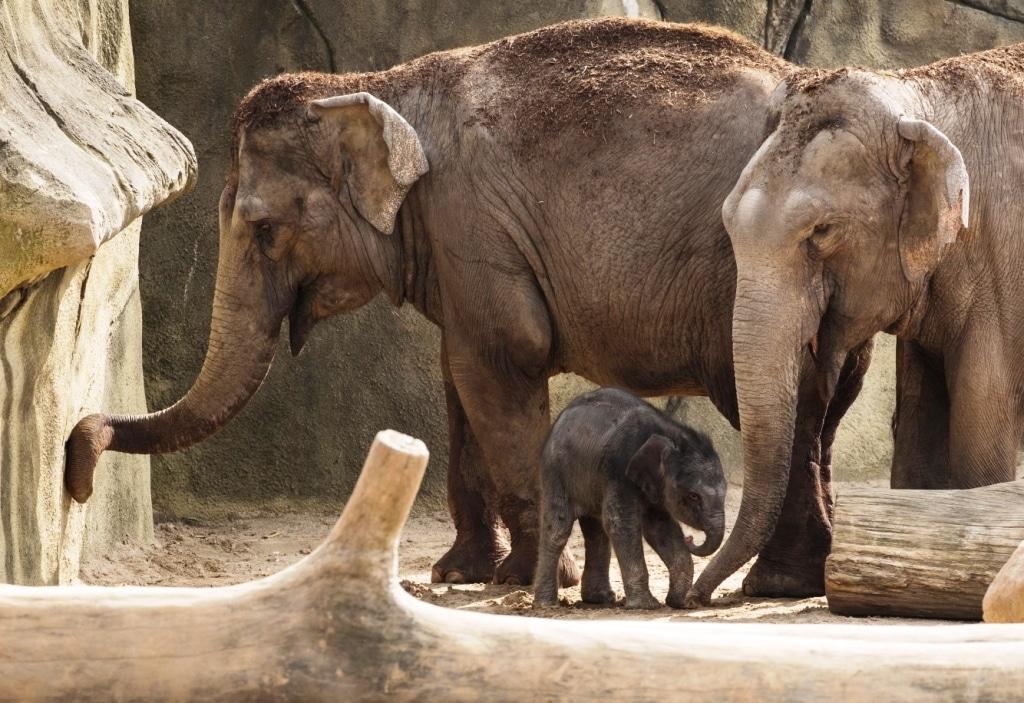 Pünktlich zum Elefantentag am kommenden Sonntag, 20. März, gibt es Nachwuchs in der Dickhäuterherde im Kölner Zoo. copyright: Werner Scheurer