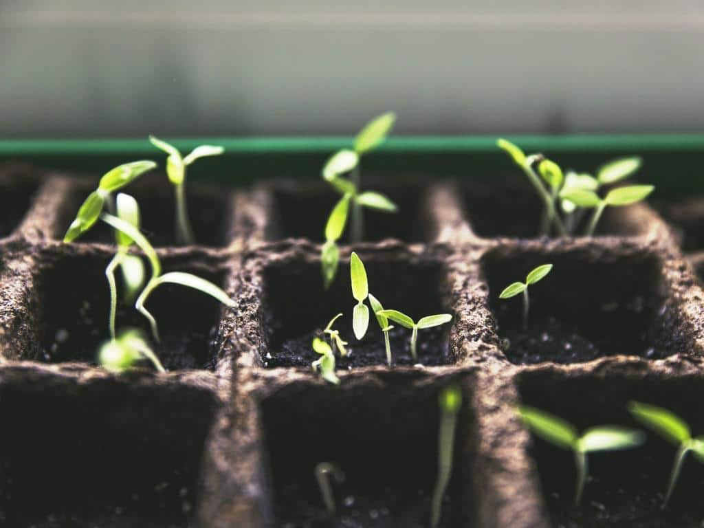Einwandfreies Saatgut und der richtige Zeitpunkt sind ausschlaggebend für das Gemüse anziehen copyright: pixabay.com