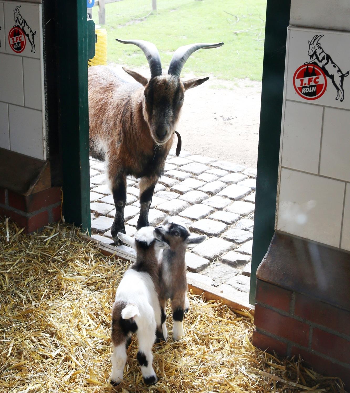 Der aktuelle Hennes, Hennes VIII., lebt in einem Stall im Kölner Zoo. copyright: Kölner Zoo