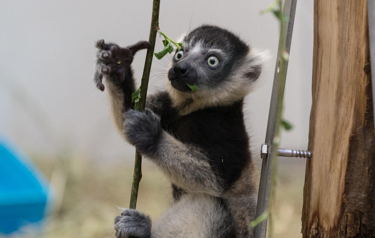 Fleißig bei der Fortpflanzung sind die Varis im Kölner Zoo. copyright: Kölner Zoo