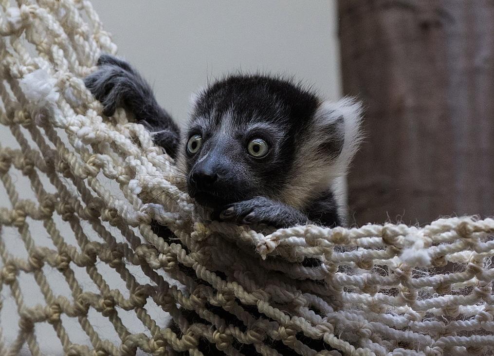 Varis gehören zu den wenigen Primaten, die ihre Jungtiere nicht ständig am Körper tragen. copyright: Kölner Zoo