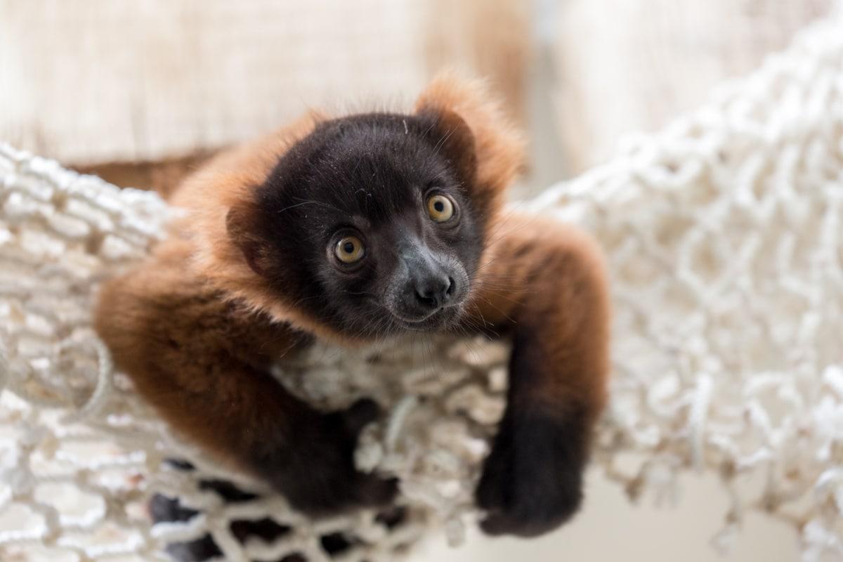 Gleich vierfacher Nachwuchs bei den Varis im Kölner Zoo copyright: Kölner Zoo
