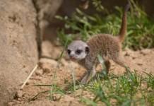 Nachwuchs bei den Erdmännchen im Kölner Zoo copyright: Klaus Gierden