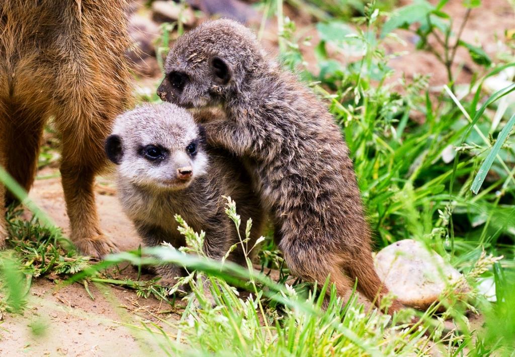 Wuselige Neubewohner im Kölner Zoo copyright: Werner Scheurer