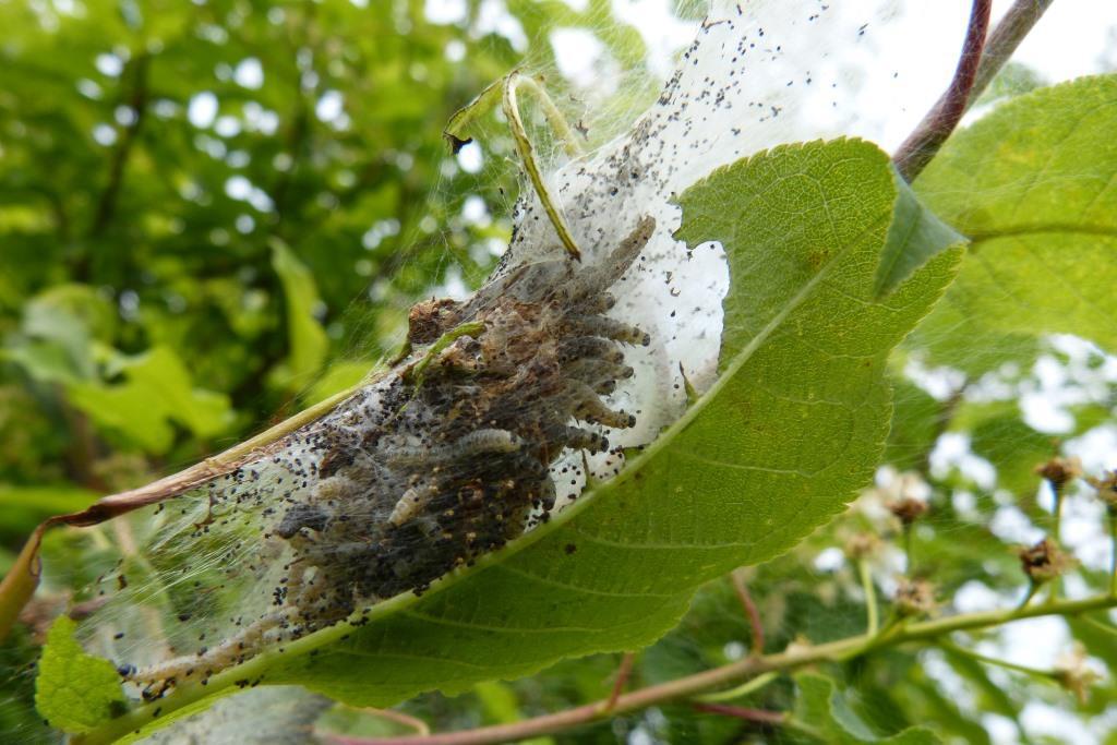 Weiße Netze der Raupen für Menschen völlig ungefährlich copyright: pixabay.com