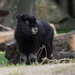 Nachwuchs im Kölner Zoo copyright: Werner Scheuerer