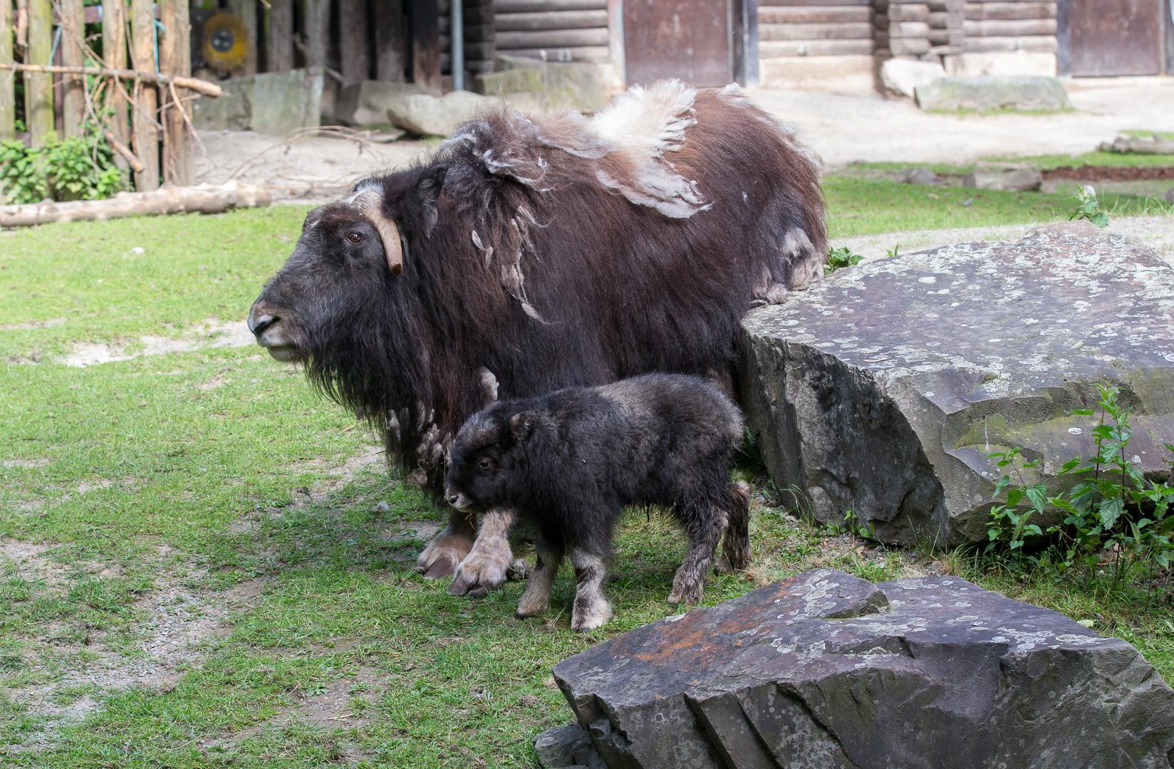 """""""Lennja"""", so heißt das neue weibliche Moschusochsen-Jungtier im Kölner Zoo. copyright: Werner Scheuerer"""