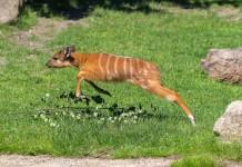 Putziger Nachwuchs: Sitatunga-Antilope im Kölner Zoo geboren copyright: Werner Scheurer