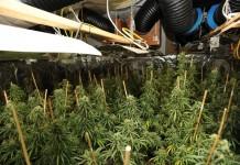 Im Keller fanden die Polizisten eine Marihuanaplantage. copyright: Polizei Köln