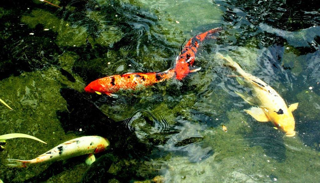 Tipps für ein optimales Wasserklima: So gelingt die Koihaltung copyright: pixabay.com