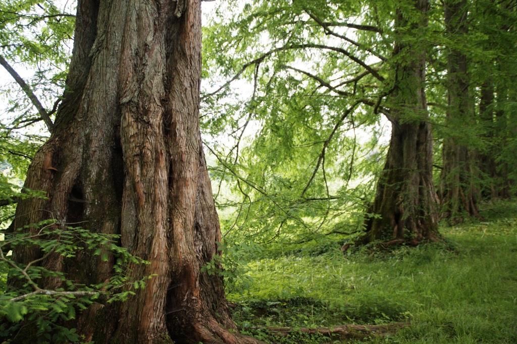 Auf einer anderthalb Hektar großen Waldfläche sind Flusszedern und Mammutbäume aus Nordamerika zu besichtigen. copyright: pixabay.com