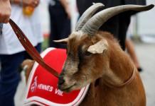 Hennes, das legendäre Maskottchen des 1. FC Köln - copyright: Alex Weis / CityNEWS