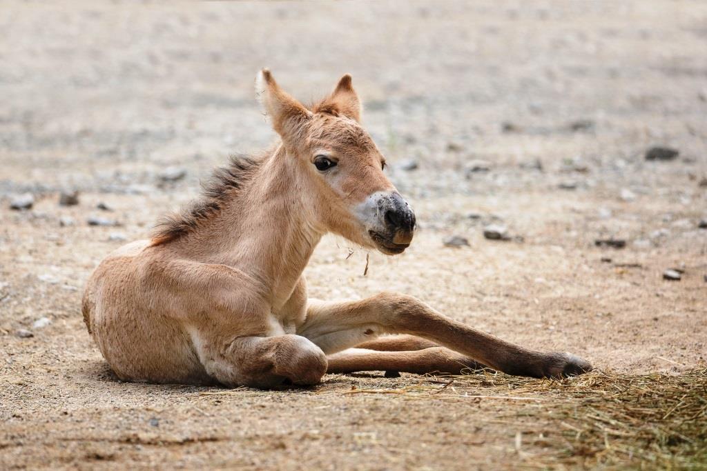 Zuchterfolg im Kölner Zoo: Przewalski-Pferd geboren copyright: Klaus Gierden / Kölner Zoo