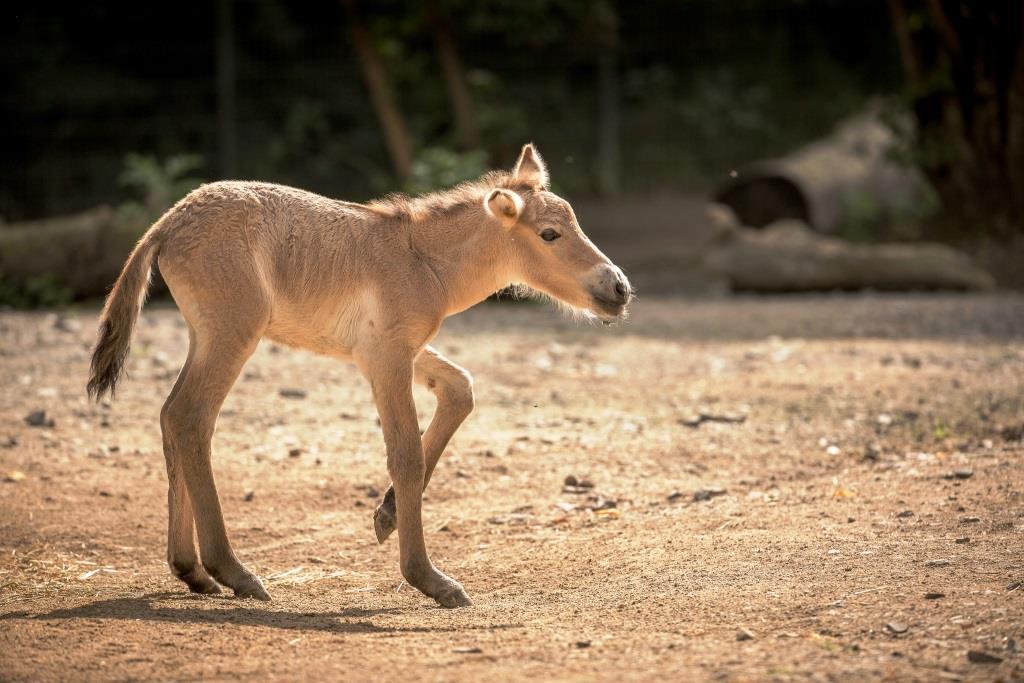 Der Zoo hat maßgeblich dazu beigetragen, dass heute wieder neue Populationen der seltenen Huftierart in freier Wildbahn leben copyright: Klaus Gierden / Kölner Zoo