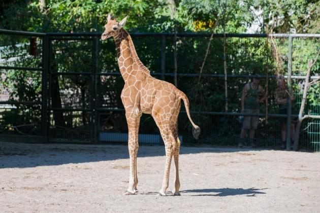 "Giraffen-Baby ""Zawandi"" im Kölner Zoo copyright: Alex Weis"