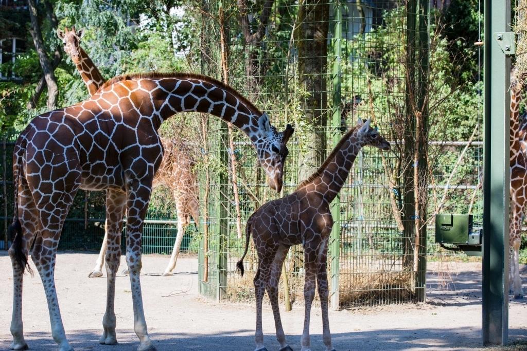 """Die Mutter """"Nyiri"""" ist sehr erfahren und kümmert sich hervorragend und liebevoll um die """"Kleine"""". - copyright: CityNEWS / Alex Weis"""
