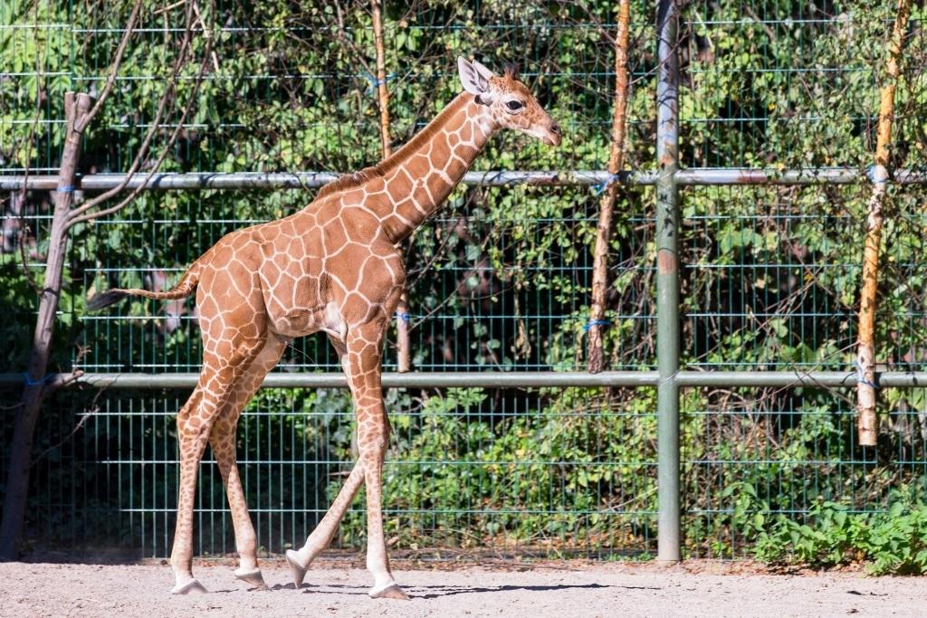 """Wieder Nachwuchs im Kölner Zoo: Giraffe """"Zawadi"""" ist da - copyright: CityNEWS /Alex Weis"""