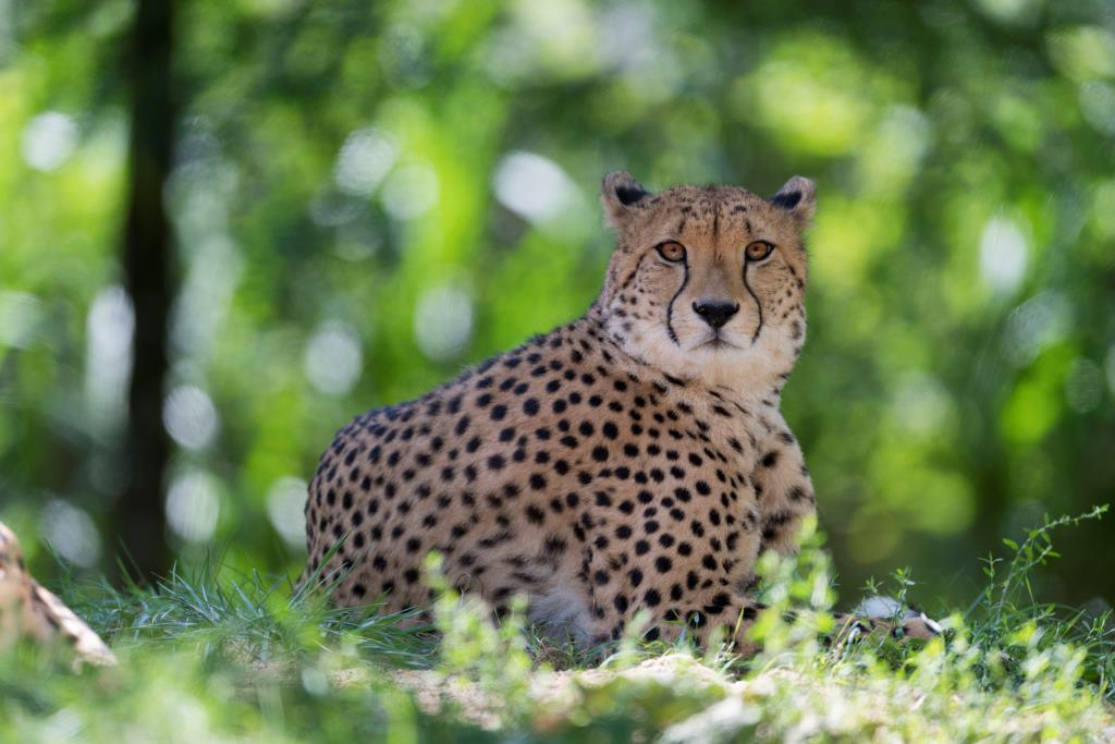 Der Bestand wildlebender Geparden ist stark dezimiert. - copyright: Hans Feller