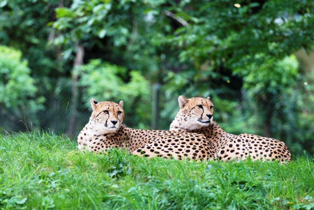 Kölns schnellste Neubürger: Neues Geparden-Brüderpaar lebt jetzt im Kölner Zoo - copyright: Hans Feller
