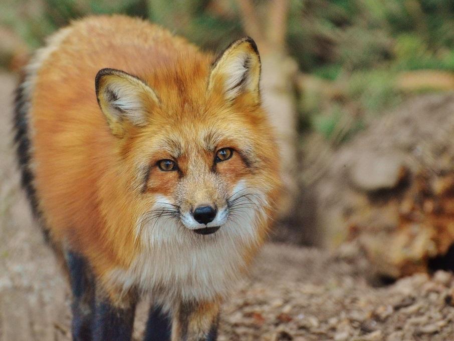 Sicherheitsabstand einhalten und Wildtiere nicht füttern copyright: pixabay.com