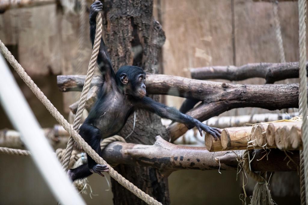 Bonobo-Kinder werden nach einer Tragzeit von 240 Tagen mit einem Gewicht von etwa 2.000 Gramm geboren. - copyright: Werner Scheurer