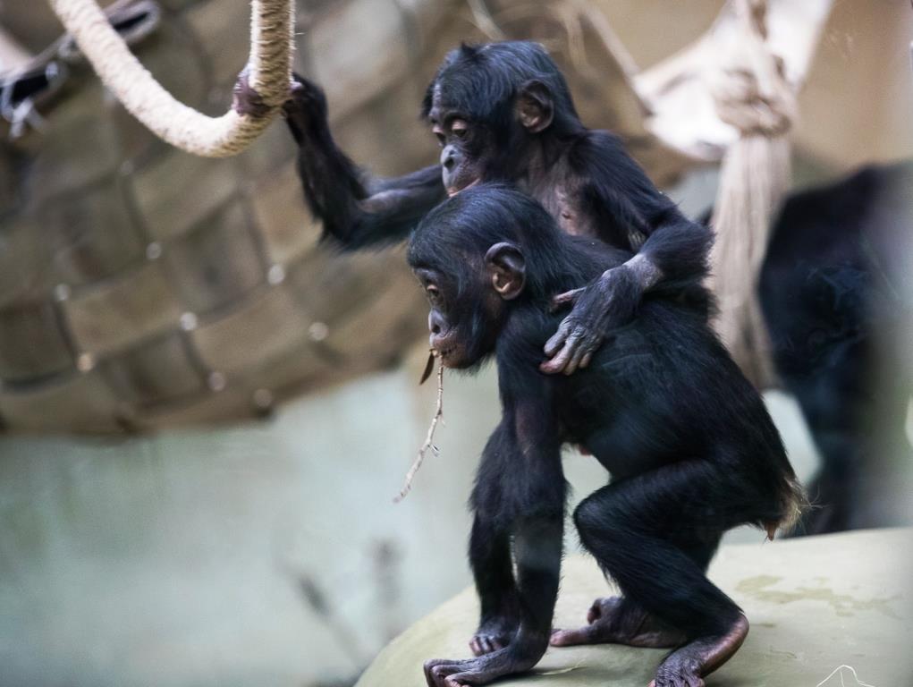 Seit dem 1. Dezember hat die Bonobo-Gruppe im Kölner Zoo Zuwachs aus Berlin. - copyright: Werner Scheurer