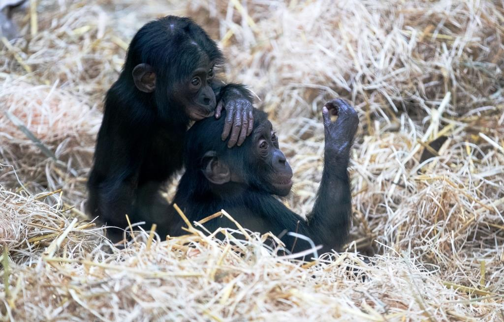 Quicklebendiger Zuwachs im Urwaldhaus für Menschenaffen im Kölner Zoo - copyright: Werner Scheurer