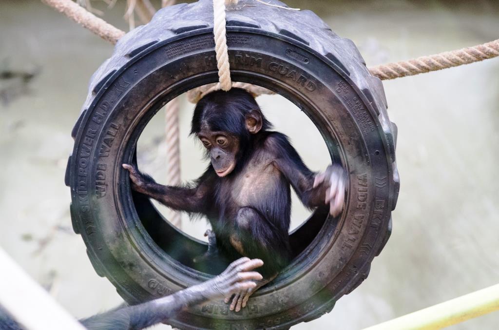 Bonobos gehören zu den bedrohtesten Menschenaffen der Erde - copyright: Werner Scheurer