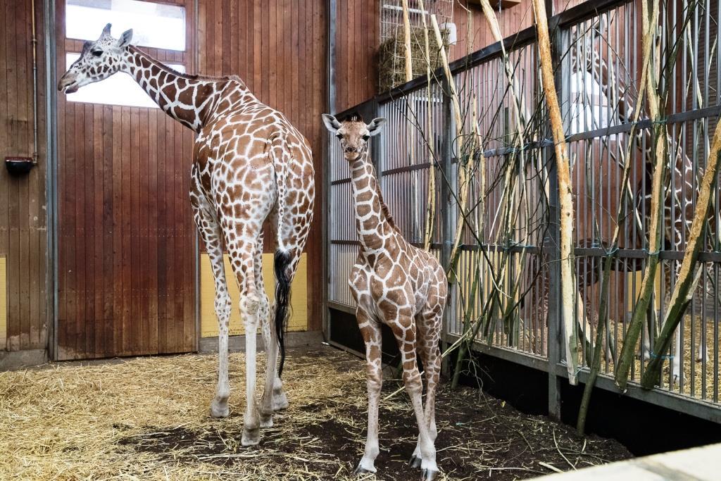 Zoos engagieren sich für den Erhalt von Giraffen - copyright: Werner Scheurer