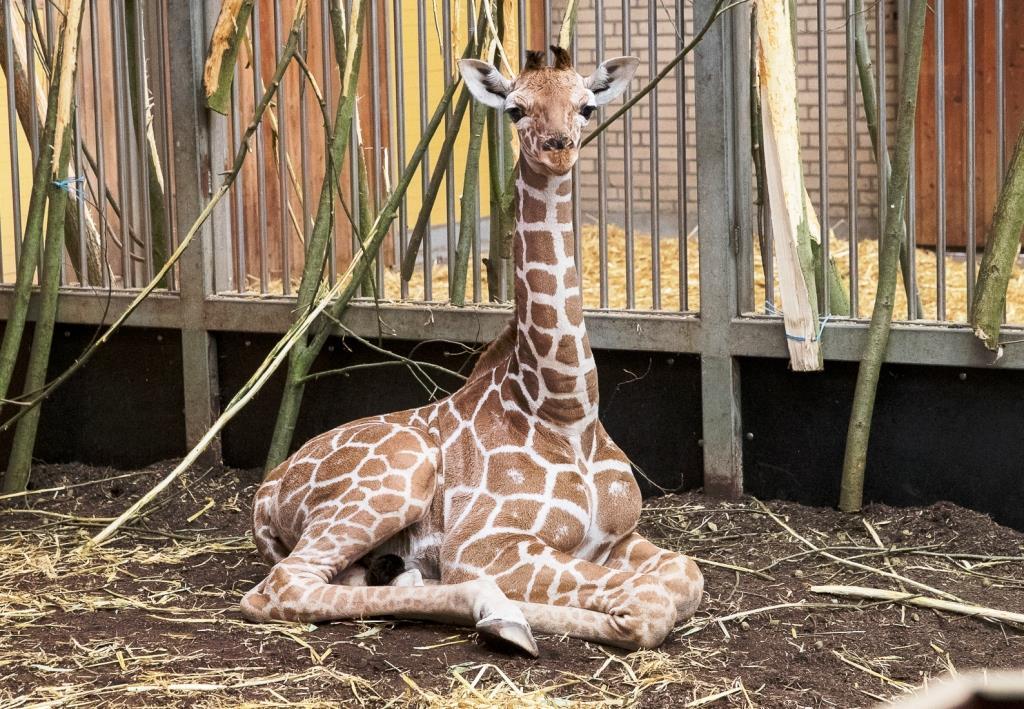 """Giraffe """"Sala"""" im Kölner Zoo geboren - copyright: Werner Scheurer"""