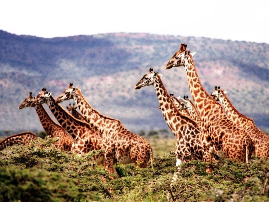 Wildlebende Giraffenbestände nehmen dramatisch ab – Rückgang um 40 Prozent in den vergangenen 30 Jahren - copyright: pixabay.com