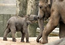 Vorfreude XXL im Kölner Zoo: Vierfacher Nachwuchs bei den Elefanten erwartet - copyright: Rolf Schlosser