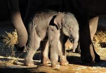 Nachwuchs bei den Elefanten im Kölner Zoo - copyright: Rolf Schlosser