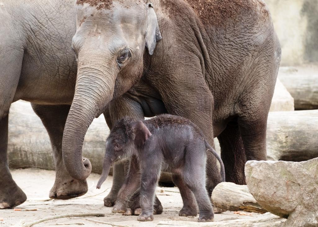 Der kleine Elefant durchstreift bereits gut sichtbar an der Seite der Mutter sein neues Revier in Köln-Riehl. - copyright: Werner Scheurer