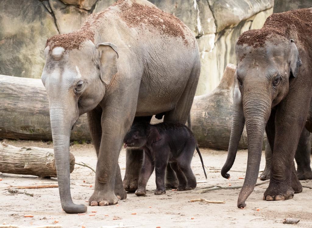 """Mutter und Jungtier werden dadurch von den erfahrenen """"Tanten"""" unterstützt. - copyright: Werner Scheurer"""
