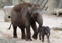 """Nachwuchs bei den Elefanten im Kölner Zoo: """"Marlar"""" hat einen kleinen Bullen geboren - Mit Live-Stream und vielen Bildern! - copyright: Werner Scheurer"""