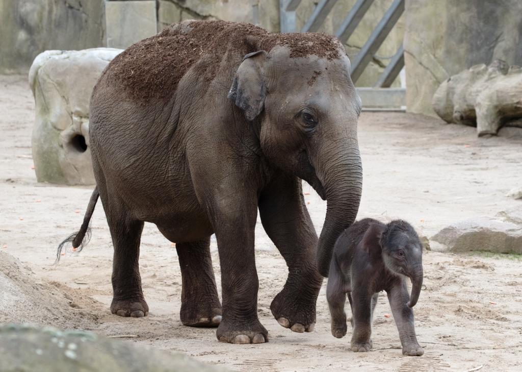Nachwuchs bei den Elefanten im Kölner Zoo: Marlar hat einen kleinen Bullen geboren! - copyright: Werner Scheurer