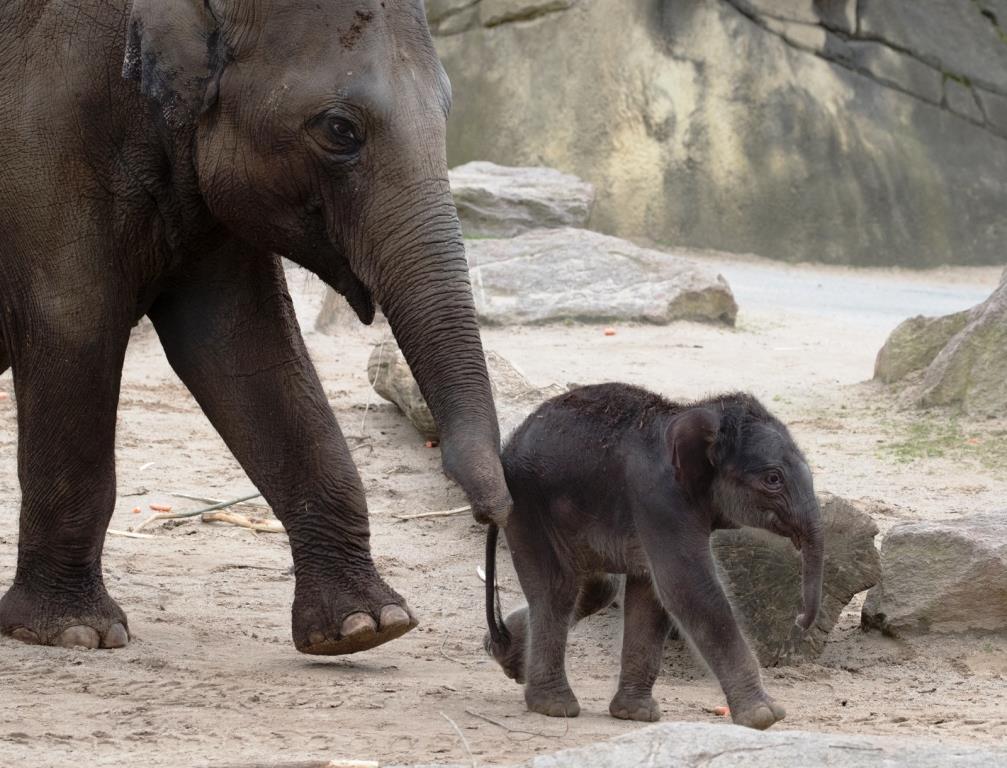 Die Asiatischen Elefanten im Kölner Zoo werden im sogenannten geschützten Kontakt gehalten. - copyright: Werner Scheurer