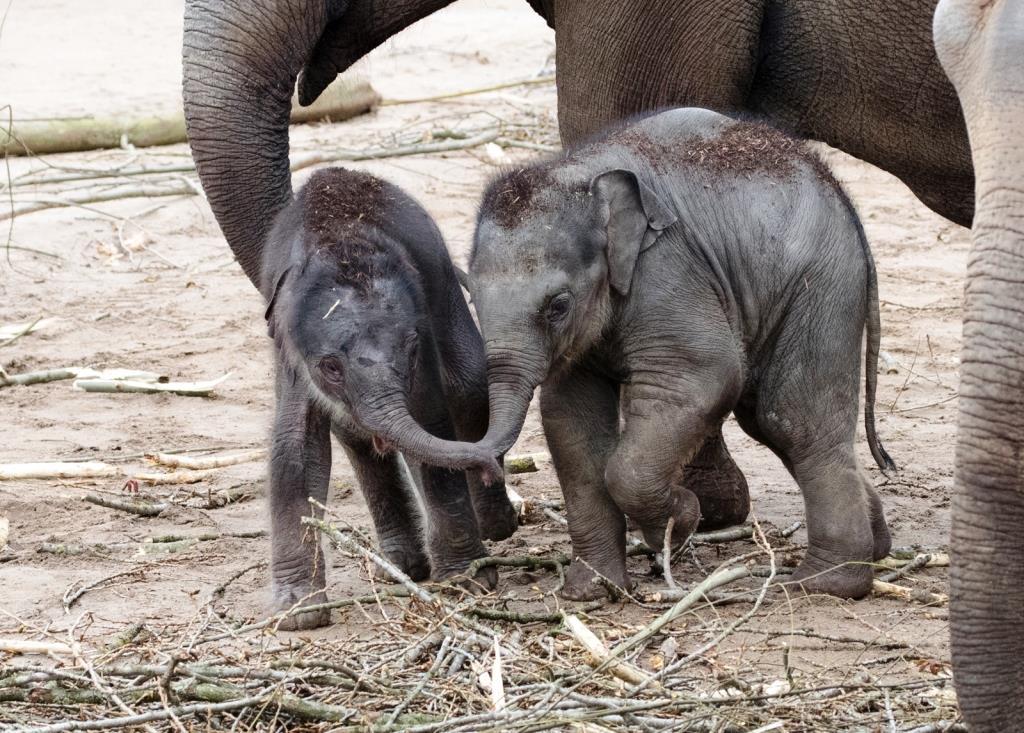 Mit dieser Geburt ist Kölns Dickhäuterherde auf nun 15 Tiere angewachsen. - copyright: Werner Scheurer