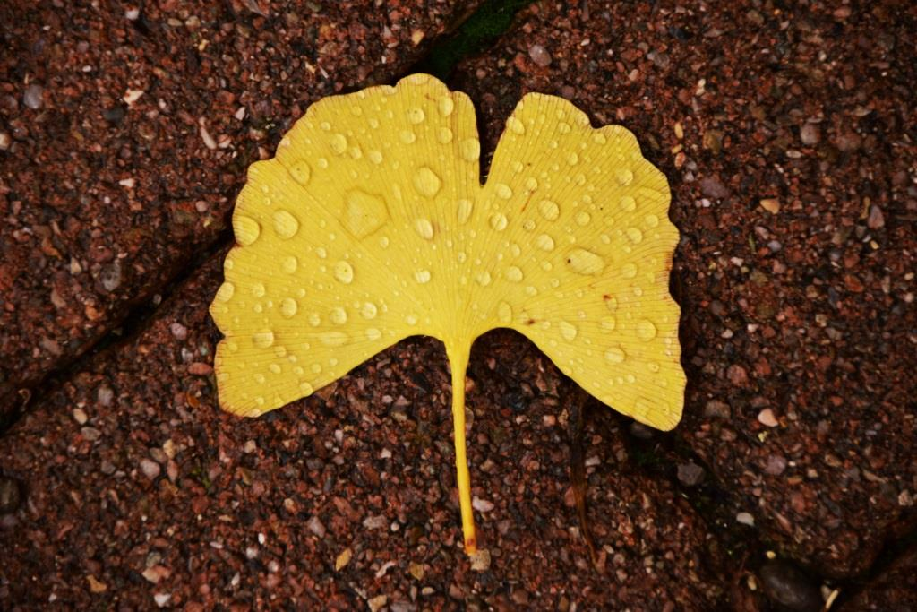 Ginkgo wirkt bei vorhandener Demenz, beugt aber nicht vor - copyright: pixabay.com