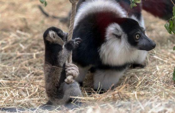 Varis gehören zu den wenigen Primaten, die ihre Jungtiere nicht ständig am Körper tragen. - copyright: Werner Scheurer