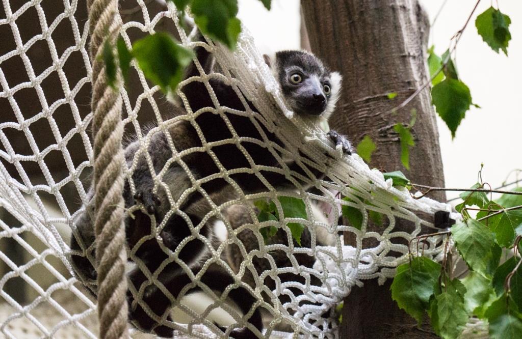 Auffangnetzte verhindern im Zoo, dass die Kleinen unkontrolliert zu Boden fallen, da sie noch nicht über die Kletterfähigkeiten ihrer Eltern verfügen. - copyright: Werner Scheurer