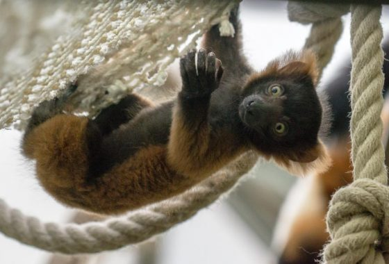 Süße kleine Affenbande: Drei Varis im Kölner Zoo geboren - copyright: Werner Scheurer