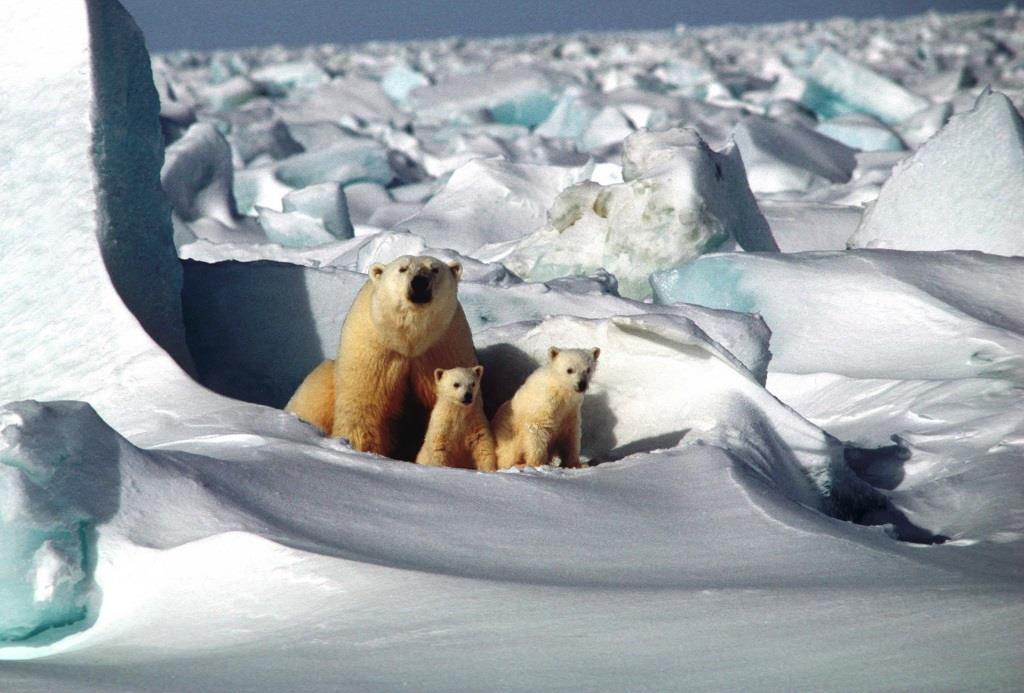 In der Arktis kann man z.B. Eisbären und anderen Vertretern der örtlichen Fauna ganz nah sein. - copyright: pixabay.com